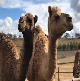 ❌ Oasis Camel Dairy Excursion CANCELLED ❌